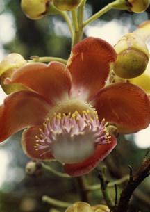 キャノン・ボール(毒花)の写真素材 [FYI03980967]