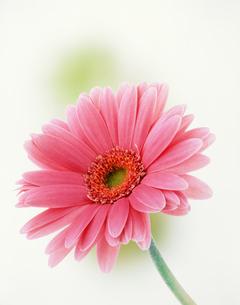 ピンクのガーベラの写真素材 [FYI03981065]