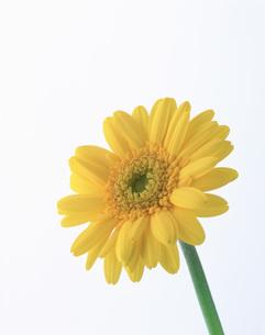 黄色のガーベラの写真素材 [FYI03981074]