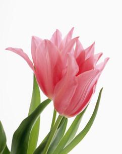 ピンクのチューリップの写真素材 [FYI03981078]