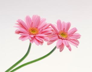 ピンクのガーベラの写真素材 [FYI03981079]