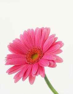 ピンクのガーベラの写真素材 [FYI03981081]