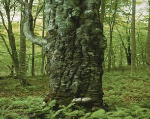 ブナの大樹の写真素材 [FYI03981097]