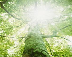 ブナの大樹と光条 十和田の写真素材 [FYI03981100]