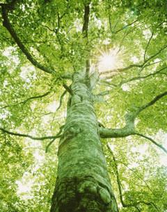ブナの大樹と光条 十和田の写真素材 [FYI03981102]