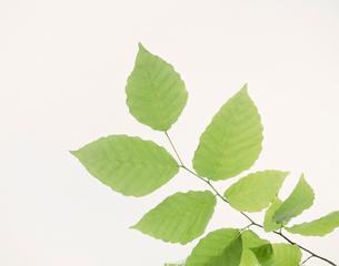ブナの小枝の写真素材 [FYI03981108]