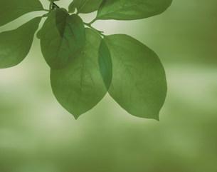 緑の柿の小枝の写真素材 [FYI03981112]