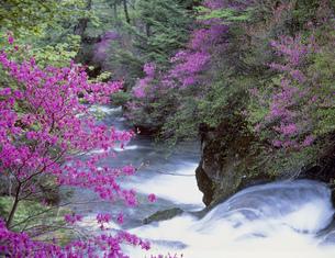 ミツバツツジと龍頭の滝の写真素材 [FYI03981167]