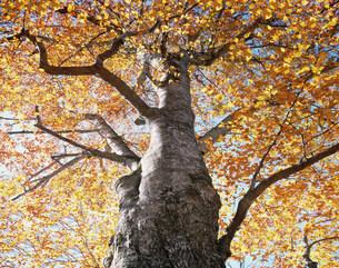 秋のブナの大樹の写真素材 [FYI03981229]