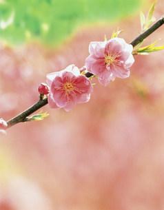 桃の花の写真素材 [FYI03981239]