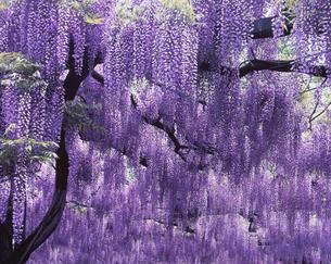 藤の花   5月の写真素材 [FYI03981249]