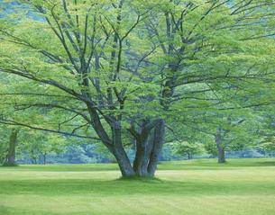 新緑の樹 十和田 5月 青森県の写真素材 [FYI03981259]
