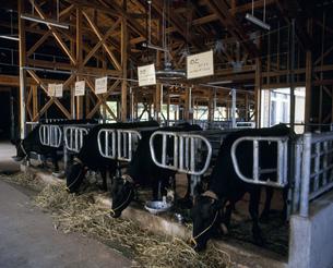 世界初クローン牛「のと」と「かが」の写真素材 [FYI03981278]