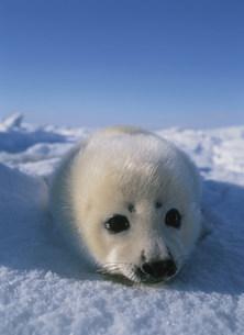 タテゴトアザラシの赤ちゃん セントローレンス湾の写真素材 [FYI03981609]