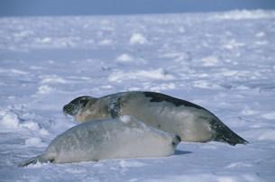 タテゴトアザラシの母子 セントローレンス湾の写真素材 [FYI03981613]