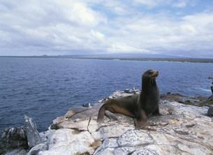 ガラパゴスアシカの雄サウス・プラザ島の写真素材 [FYI03981623]