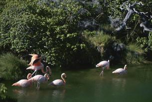 オオフラミンゴの写真素材 [FYI03981628]