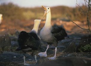 ガラパゴスアホウドリの求愛行動の写真素材 [FYI03981637]