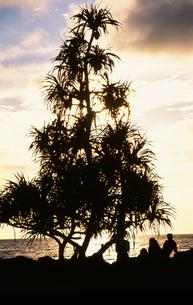 パンダナスの木の写真素材 [FYI03981749]