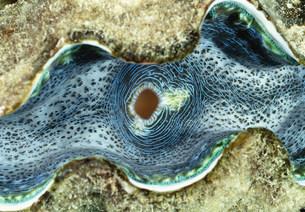 オオシャコガイの写真素材 [FYI03981777]