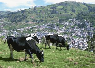 牛とキト市街の写真素材 [FYI03981851]