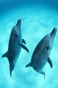 砂地の海底から海面に向かって泳ぐバハマのイルカたちの写真素材 [FYI03981905]
