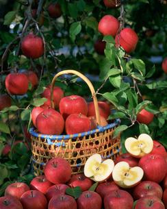 蜜入りふじりんごの写真素材 [FYI03982022]