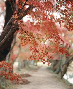 もみじの路 大覚寺の写真素材 [FYI03983256]