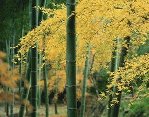 竹林と黄もみじの写真素材 [FYI03983333]