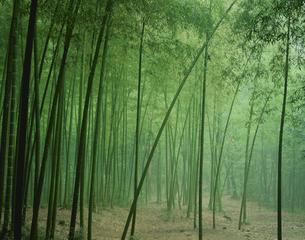 嵯峨野の竹林  5月の写真素材 [FYI03983390]
