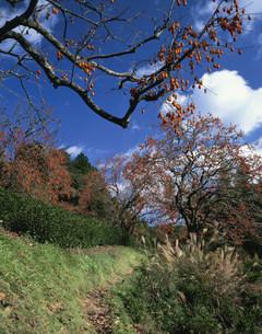 柿景の写真素材 [FYI03983394]