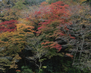 栂の尾の秋景の写真素材 [FYI03983402]