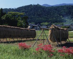嵯峨野の秋の写真素材 [FYI03983408]