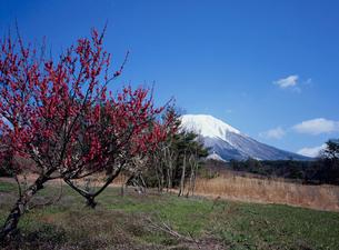 早春の大仙と紅梅の写真素材 [FYI03983458]