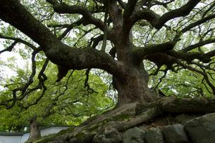 青蓮院の大楠木の写真素材 [FYI03983664]