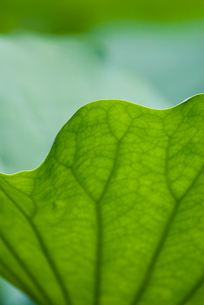 蓮の葉の写真素材 [FYI03983743]