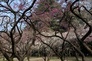 植物園の梅林の写真素材 [FYI03983793]