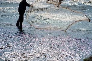 鴨川で投網をする人の写真素材 [FYI03983812]
