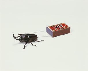 マッチ箱を引くかぶと虫のオスの写真素材 [FYI03984598]