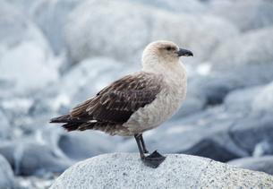 南極オオトウゾクカモメの写真素材 [FYI03984836]