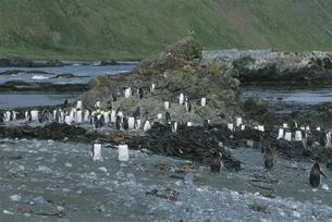 ジェンツーペンギン マッコーリー島 オーストラリアの写真素材 [FYI03984874]