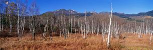 葉の落ちた白樺林の写真素材 [FYI03984930]