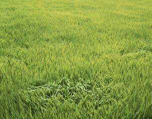 風わたる緑の稲田の写真素材 [FYI03984959]
