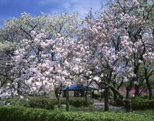 八重桜咲く神代植物公園の写真素材 [FYI03984975]