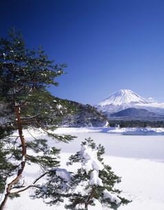 松の木と雪の精進湖と富士山の写真素材 [FYI03985026]