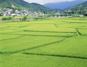 山間の緑の稲田の写真素材 [FYI03985050]