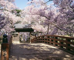 桜咲く桜雲橋 高遠城址公園の写真素材 [FYI03985108]