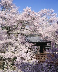 桜の高遠城址公園の写真素材 [FYI03985109]
