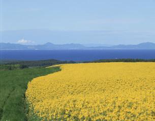 菜の花の丘と陸奥湾の写真素材 [FYI03985137]