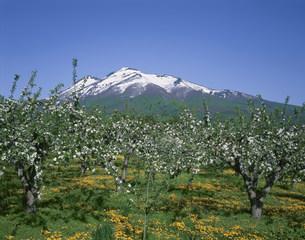 岩木山とタンポポとリンゴの花の写真素材 [FYI03985151]
